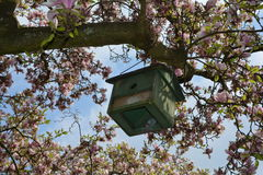 Green bird house hangs on the blossoming magnolia tree Stock Images