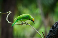 Green bird on leaf Royalty Free Stock Image