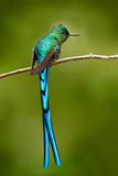 Green bird with long blue tail. Beautiful blue glossy hummingbird with long tail. Long-tailed Sylph, hummingbird with long blue ta Stock Photography