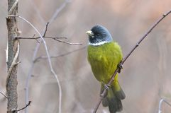 A green bird. This green bird is resting on the branch Royalty Free Stock Image
