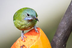 Green Bird. Taken in Hong Kong Park Royalty Free Stock Photography