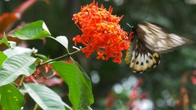 Green birdwing butterfly. Female green birdwing butterfly feeding on a red ixoria flower stock video