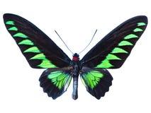 Green birdwing butterfly Stock Photos