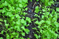 Green and Black. Organically grown Claytonia Perfoliata, or Miner's Lettuce on mulched vegetable bed royalty free stock photos