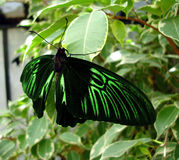 Green and black butterfly. On leaf royalty free stock images