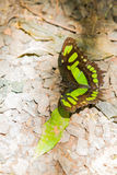Green and black butterfly Stock Photo