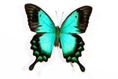 Green and black butterfly Papilio lorquinianus Stock Photos