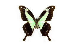 Green and black butterfly Papilio phorcas isolated Royalty Free Stock Images