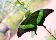 Green and black butterfly. Green and black tropical butterfly - Papilio palinurus - in its natural environment stock photography