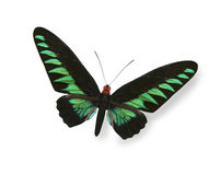 Green and black butterfly  Royalty Free Stock Photos