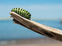 Green and Black Catterpillar on a Wood in Daylight Close Photography Stock Image