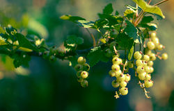 Green black currants Stock Images