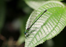 Green and black damselfly perched on a leaf. Stock Photo