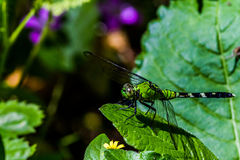 A Green and Black Female Dragonfly on a Green Leaf Royalty Free Stock Photos