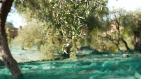 Green and black fresh olives on olive tree and branch. Harvesting in Liguria, Italy, Taggiasca or Caitellier cultivar. Olive oil p stock video
