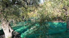 Green and black fresh olives on olive tree and branch. Harvesting in Liguria, Italy, Taggiasca or Caitellier cultivar. Olive oil p stock video footage