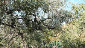 Green and black fresh olives on olive tree and branch. Harvesting in Liguria, Italy, Taggiasca or Caitellier cultivar. Olive oil p stock footage