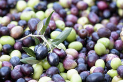 Green and black olives in hand Stock Photo