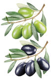Green and black olives with leaves. Royalty Free Stock Images