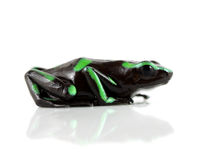 Green and Black Poison Dart Frog. A Green and Black Poison Dart Frog (Dendrobates Auratus). This frog inhabits the rainforests of Costa Rica, Nicaragua, Brazil Stock Photos