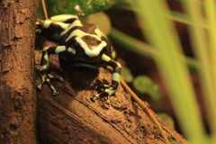 Green and black poison dart frog. The green and black poison dart frog on the wood Stock Photos