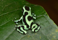 Green and black poison dart frog , costa rica Stock Images