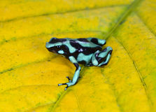 Green and black poison dart frog , costa rica Stock Image
