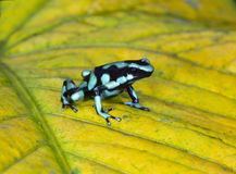 Green and black poison dart frog , costa rica Royalty Free Stock Photos