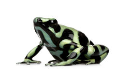 Green and Black Poison Dart Frog - Dendrobates aur Stock Images