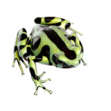 Green and Black Poison Dart Frog - Dendrobates aur. Atus in front of a white background Stock Photos