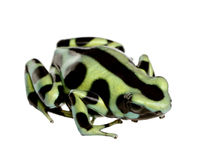 Green and Black Poison Dart Frog - Dendrobates aur. Atus in front of a white background Royalty Free Stock Image
