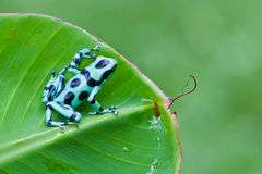 Green and Black Poison Dart Frog Stock Photo