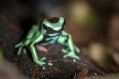 Green and Black Poison Dart Frog Royalty Free Stock Photos