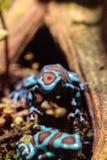 Green and black poison dart frog Dendrobates auratus Royalty Free Stock Photos