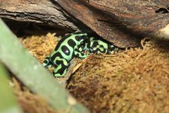 Green and black poison dart frog. In the moss Stock Image