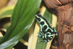 Green and black poison dart frog. Sitting on the lef Royalty Free Stock Photos