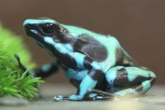 Green and black poison dart frog. On the soil Stock Photography