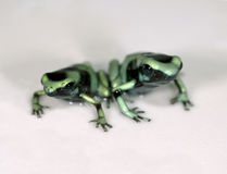 Green and black poison dart frogs 1 Stock Photography