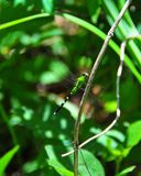 Green and Black Dragonfly. Green and black striped dragonfly sitting on a branch in the forest Royalty Free Stock Photo