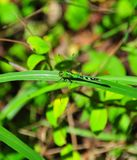 Green and Black Dragonfly. Green and black striped dragonfly sitting on a branch in the forest royalty free stock image