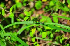 Green and Black Dragonfly. Green and black striped dragonfly sitting on a branch in the forest Stock Photos
