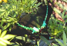 Green and Black Swallowtail Butterfly on Green Leaf Plant Stock Image
