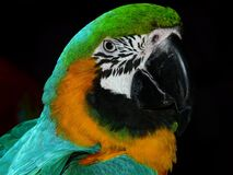 Green Black White Yellow and Teal Parrot Stock Photos