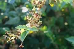 Green blackberries on branch Stock Images