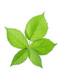 Green blackberry leaf. Isolated on a white background Royalty Free Stock Photo