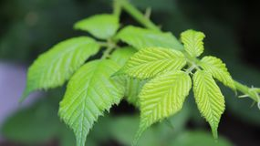 A green blackberry leaves. Summer 2018. A green blackberry leaves in small green garden. 2018 Summer time royalty free stock photos
