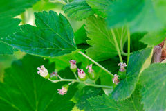 Green blackcurrant leaves and unripe berries. Close-up, selective focus on ovary Stock Photos