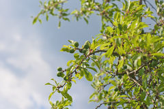 Green Blackthorn Fruit Royalty Free Stock Image