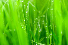 Green blade of grass Royalty Free Stock Images