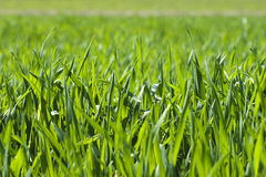 The green blade of grass Stock Image